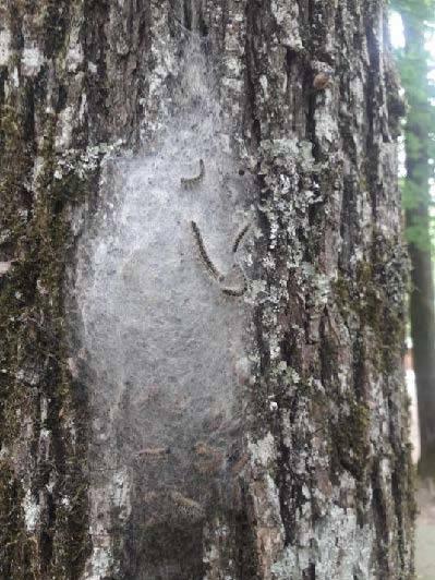Nids de Chenilles processionnaires dans la forêt de Seillon